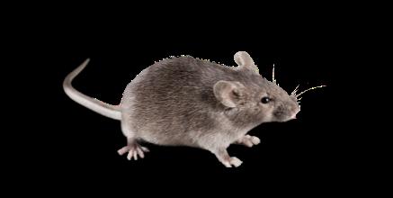 derattizzazione-topo-ratto-easy-clean