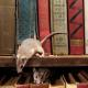 escrementi-di-topi
