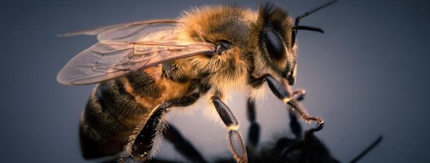 puntura-ape-vespa-calabrone